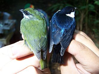 Altitudinal migration - The white-ruffed manakin (Corapipo altera) is a well known altitudinal migrant. Third year male (left) and After Third Year male (right).