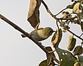 White-breasted White-eye ( Zosterops abyssinicus) (17737048951).jpg