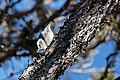White-breasted nuthatch (Sitta carolinensis) clinging to a tree (a5df1c28-25c7-4039-ab3f-ee4bd3f2443d).jpg
