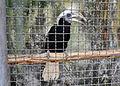 White-crowned hornbill in Pata Zoo 2.jpg