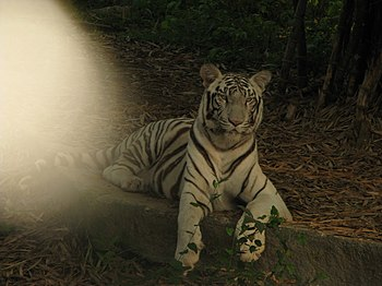 White Tiger Cooling Off in a Summer Evening. 10.jpg
