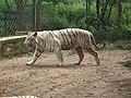White Tiger from Bannerghatta National Park 8512.JPG