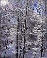 White and cold winter - panoramio.jpg
