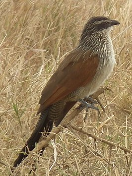 White browed coucal in Tanzania 3140 cropped Nevit.jpg