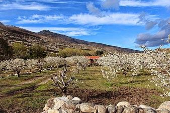 White cherries 02.jpg