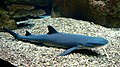 Whitetip reef shark 2.JPG