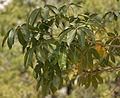 Wild Almond (Sterculia foetida) in Hyderabad W IMG 4759.jpg