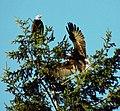 Wild Bald Eagle Mates.jpg