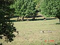Wild Boars at Odem Forest Reserve DSC00734.JPG