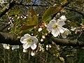 Wild Cherry (Prunus avium) blossom (4537259835).jpg