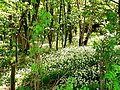 Wild Garlic in Little Wood - geograph.org.uk - 182694.jpg