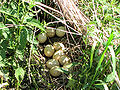 Wild Turkey nest and eggs.jpg