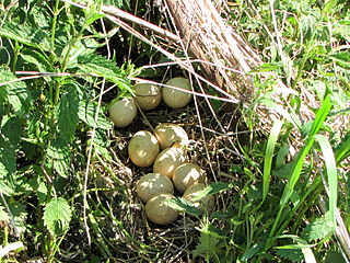 Morčacie vajíčka