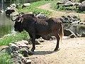 Wildebeest (540081100).jpg