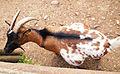 Wildpark Poing - goat.jpg