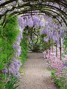 Wisteria at Grey's Court, near Henley, Oxon. - geograph.org.uk - 1754213