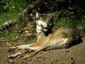 Wolf 3.jpg