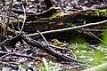 Worm-eating warbler (47582872131).jpg