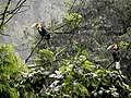 Wreathed hornbill pair in rain-AD.jpg
