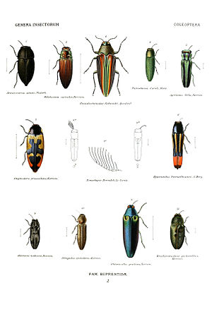 Buprestidae - Agrilinae (bottom row), Chrysochroinae (top row, left 3), and Buprestinae (others) from Genera Insectorum