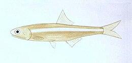 XRF-Stolephorus indicus