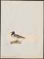 Xema furcatum - 1820-1860 - Print - Iconographia Zoologica - Special Collections University of Amsterdam - UBA01 IZ17900298.tif