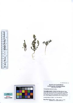 240px yose219555 chenopodium atrovirens
