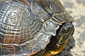 Yellow-bellied slider (05).jpg