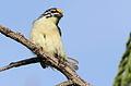 Yellow-fronted tinkerbird, Pogoniulus chrysoconus, at Walter Sisulu National Botanical Garden, South Africa (16004548971).jpg