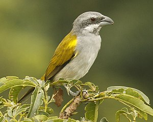 Yellow-shouldered grosbeak - Yasuni Nat'l Park - Ecuador