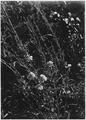 Yellow Evening Primrose. Cenothera. Flower cream yellow, lemon color. Stems light green. - NARA - 520503.tif