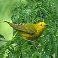 Yellow Warbler (7098681045).jpg