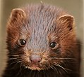 Young Mink on Seedskadee NWR (18689553811).jpg