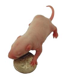 Rat de laboratoire wikip dia - Dessin d un rat ...