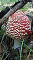 Young sporocarp of fly agaric (Amanita muscaria).jpg