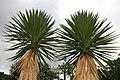 Yucca aloifolia 4zz.jpg