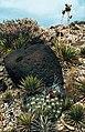 Yucca angustissima subsp. avia fh 1181.15 UT B.jpg