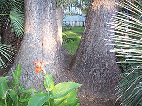 Yucca filifera wikip dia - Yucca pied d elephant ...