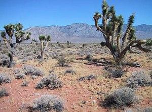 Joshua Trees (Yucca brevifolia) in Grand Canyo...