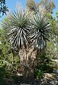 Yucca rigida form.jpg