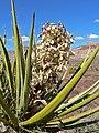 Yucca schidigera 7.jpg