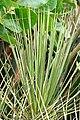 Yucca standleyi 2.jpg