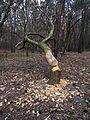 Zastawne Ivanychivskyi-zakaznyk land Zastawnenskyi-beaver gnawed wood.jpg