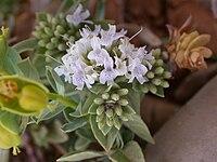 Ziziphora clinopodioides