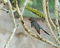 Zoo-mayaguez-19-red legged Thrush ( Turdus Plumbeus ) Zorzal de Patas Rojas.JPG