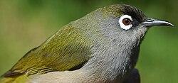 Un zostérops de la Réunion (Zosterops olivaceus), également appelé «zoizo vert» ou «zoizo lunettes»