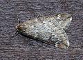 (1663) March Moth (Alsophila aescularia) (16350738929).jpg