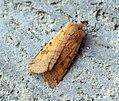 (2267) Beaded Chestnut (Agrochola lychnidis) (8181741011).jpg
