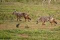 (Carnivora Canidae) Canis anthus, Afrikansk guldvarg African golden wolf (46508444994).jpg