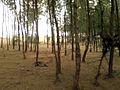(Casuarina equisetifolia) at Chintapalli beach 02.jpg